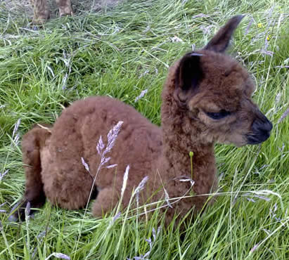 Alpaca cria called Rocky