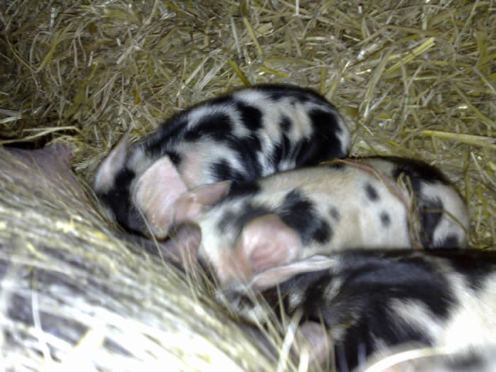 Lalya the Kune Kune and Piglets